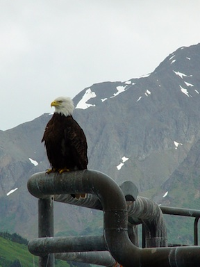 Eagle small