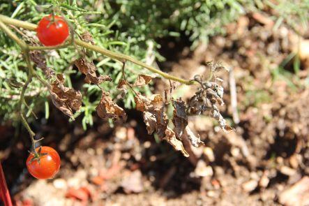 tired tomato 2