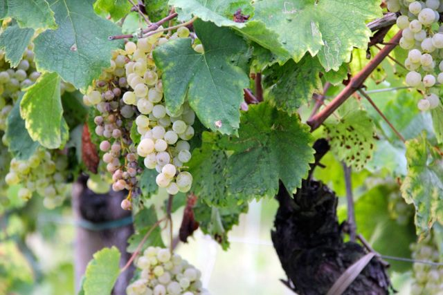 Grapes - prosecco