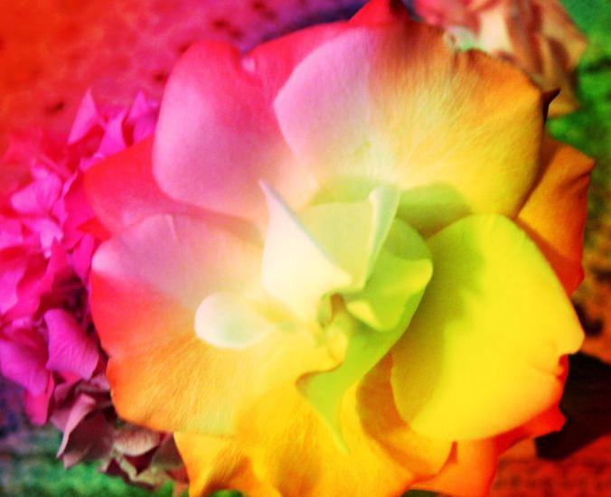 Colored Rose