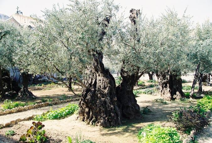 olive-tree-gethsemane-1